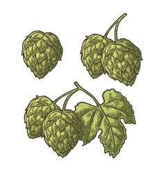 hop herb plant with leaf vintage engraved vector image vector image