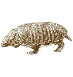 Engraving of armadillo vector