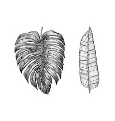 palm plant tropical monstera exotic leaves vector image