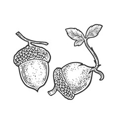 Sprouted acorn sketch vector
