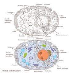 Human cell structure vector