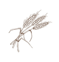 wheat spica vector image