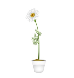 Lovely Fresh Chamomile in Ceramic Flower Pot vector image