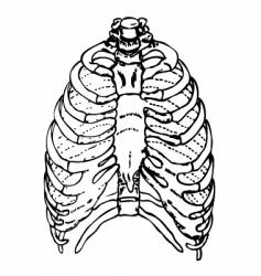 human rib cage vector image vector image