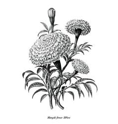 marigold flower hand draw vintage style black vector image