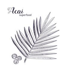 Acai plant hand drawn sketch vector