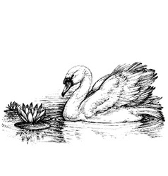 Swan on lake lotus flowers sketch vector image vector image
