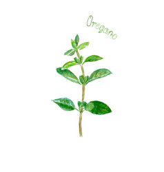 Oregano herb spice isolated on white background vector