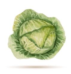 Watercolor handmade cabbage vector