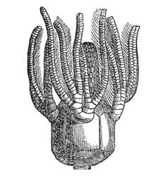 Platycrinus vintage vector
