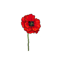 red poppy flower blossom blooming vector image