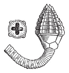 Cupressocrinus vintage vector