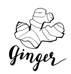 ginger sketch vector image