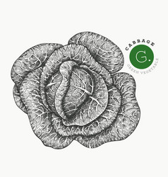 hand drawn sketch style cabbage organic fresh vector image