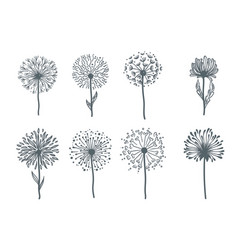 Tender wild dandelion in all phases of blooming vector