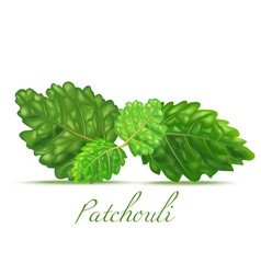 patchouli leaves in realistic style vector image