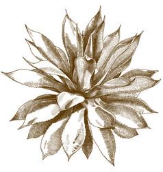 Engraving antique agave bush vector