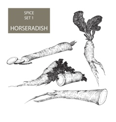 Horseradish vector image