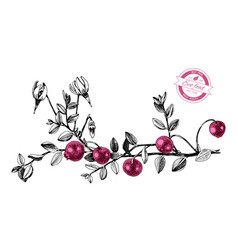 Hand drawn cranberry plant vector