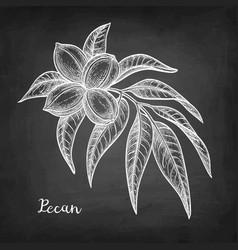 Chalk sketch of pecan vector