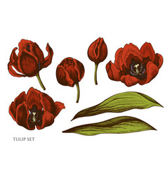 set hand drawn colored tulip vector image