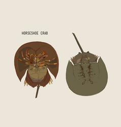 horseshoe-crab hand draw sketch vector image