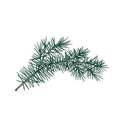 elegant detailed botanical drawing of fir branch vector image