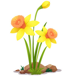 Yellow daffodil flowers on white background vector
