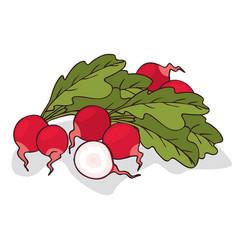 Isolate ripe radish root vegetable vector