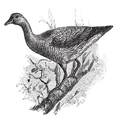Australian tree duck vintage vector