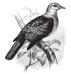 bronze fruit pigeon vintage vector image
