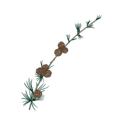 gorgeous natural drawing of larch branch with vector image