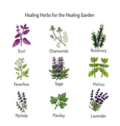 Healing herbs set vector