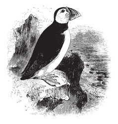 Arctic puffin vintage vector
