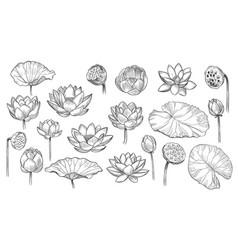 lotus sketch floral composition flowers vector image