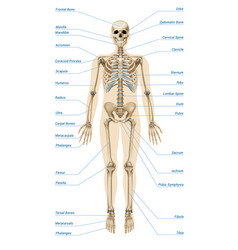 Realistic human skeletal system infographics vector