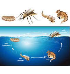 life cycle of mosquito in the pond vector image vector image