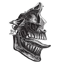 Trifacial nerve vintage vector