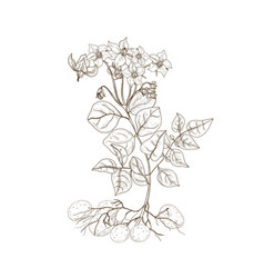 monochrome outline drawing potato plant with vector image