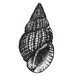 Nassa reticulata vintage vector