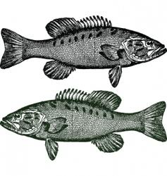 smallmouth bass fish vector image