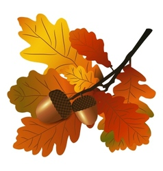 Oak branch with acorns vector image vector image