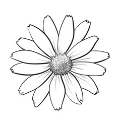open heliopsis blossom top view sketch style vector image