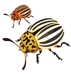 Colorado black-and-yellow beetle isolated vector