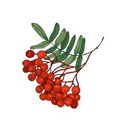 Colored bright rowan tree branch or sprig vector