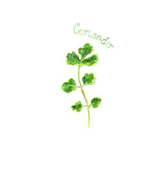 Coriander herb spice isolated on white background vector