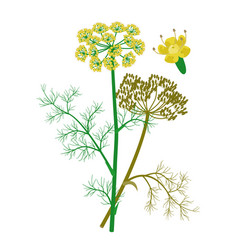Fennel flowerheads and seeds healing flower vector