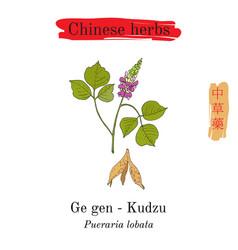Medicinal herbs of china kudzu pueraria montana vector