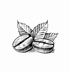 sketch coffee beans with leaves vector image