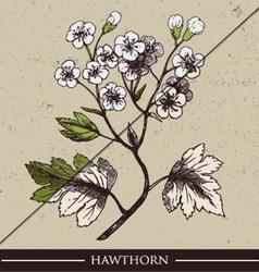 Hawthorn vector